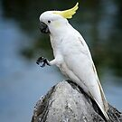 Cockatoo Taking a Break by Chris  Randall