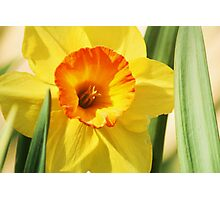 Daffodils for you Photographic Print