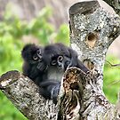 Spider Monkeys by Teresa Zieba