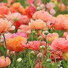 Orange shades in a field of ranunculus flowers by Karol Franks