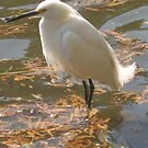 Snowy Egret by jsmusic