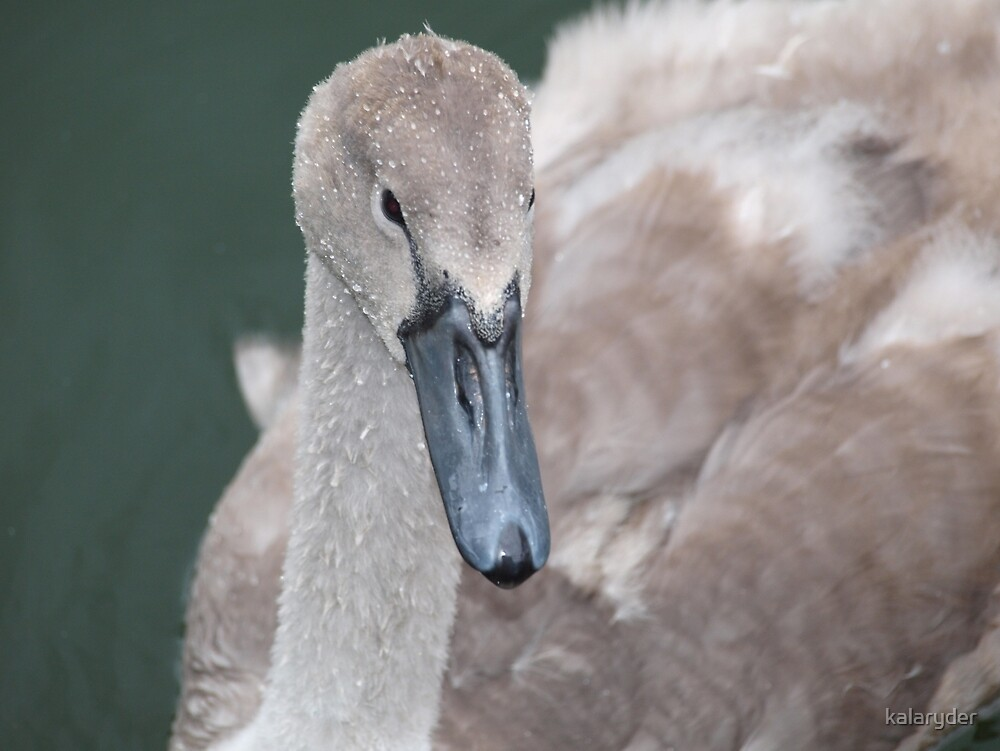 Young Swan by kalaryder