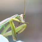 Praying Mantis by Adam Evans