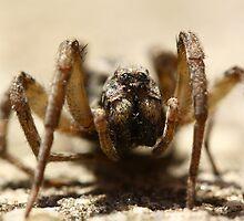 Wolf Spider by Adam Evans