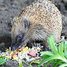 I'm A Hungry Hog - Hedgehog - NZ by AndreaEL