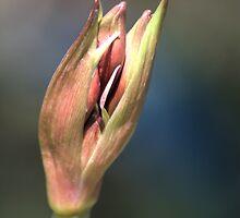 Amaryllis Bud by Donna Adamski