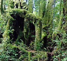 Antarctic Beech,  Lamington National Park, Queensland by Adrian Paul