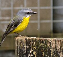 Eastern Yellow Robin, Queensland, Australia by Adrian Paul