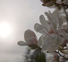 Evening Magnolia by Olga Zvereva