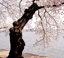 Cherry blossom tree on the tidal basin by LittleBird