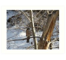Backyard Sharp Shinned Hawk Art Print
