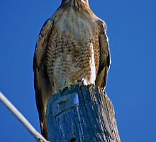 RED TAIL HAWK ON HIS POST by SMOKEYDOGSOCKS