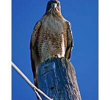 RED TAIL HAWK ON HIS POST Photographic Print