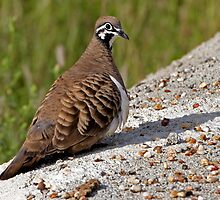 Squatter Pigeon by Robert Elliott