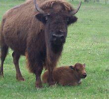 buffalo & calf by seemyshots