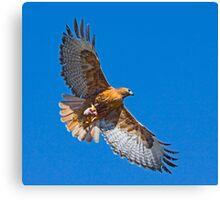 Rufous Morph Red-Tailed Hawk Canvas Print