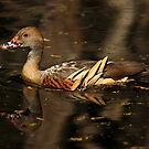 Plumed Whistling-Duck by margotk