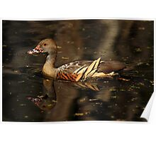 Plumed Whistling-Duck Poster
