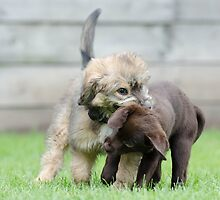Puppies playing by franceslewis