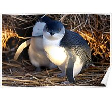 Fairy Penguins Poster