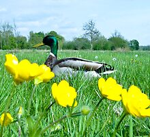 Buttercup Duck by Paul Davey