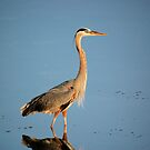 Great Blue Heron by Jeff Ore