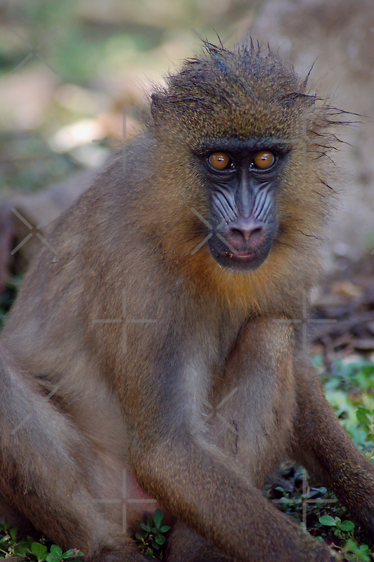 Mandrill Stare by ApeArt