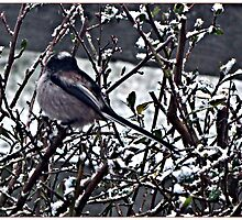 """ Long Tailed Tit, taken from Study Window."" by mrcoradour"