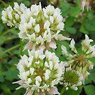 Alsike Clover- Trifolium hybridum by Tracy Wazny