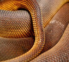 Close-up Detail of Coiled Snake Skin Scales Pattern by HotHibiscus