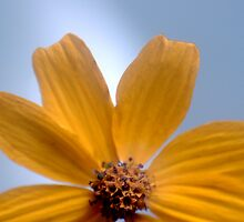 Yellow Daisy by Roger Otto