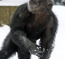 Chimpanzee in the snow (Pan troglodyte) by amjaywed