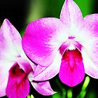 Two Orchids by Kathleen Struckle