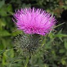 Bull Thistle- Cirsium vulgare by Tracy Wazny