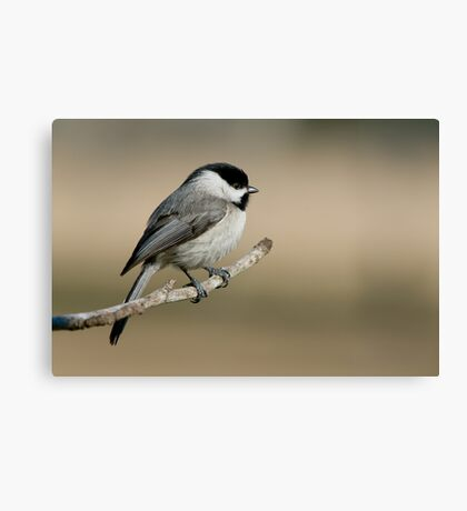 Meditative Chickadee Canvas Print