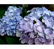 Lavender and blue hydrangea Photographic Print