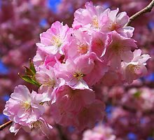 Cherry Blossoms by Laurel Talabere