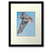 Priaire Falcon Swooping Framed Print