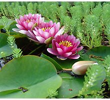 Waterlilies and Parrot Feather Photographic Print