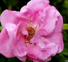 The Pink Rose by Jenivision