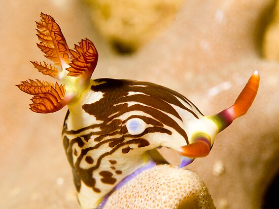 Nudi Taking a Bow by Dan Sweeney