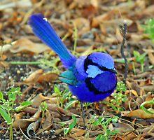 BLUE WREN by Carol  Lewsley