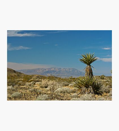 Yucca schidigera Photographic Print