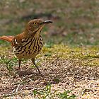 Brown Thrasher by Otto Danby II
