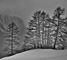 Larch Wood in Back Light by itchingink