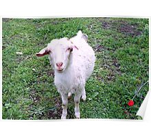 Young nanny goat Poster