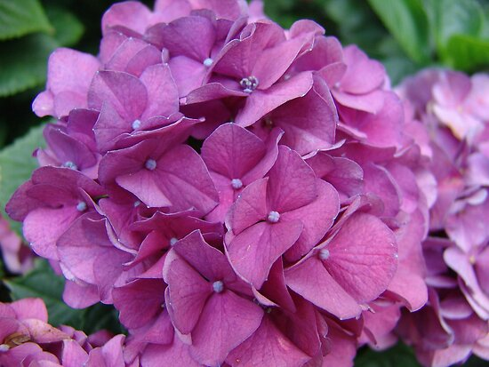 Violet Hydrangeas by May Lattanzio