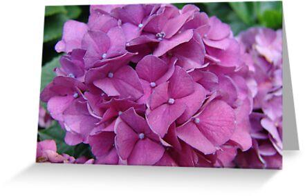 Violet Hydrangeas by May Lattanzio