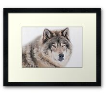 ..the wink of a wolf..... Framed Print