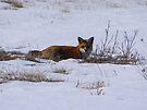 Fox by Dave & Trena Puckett